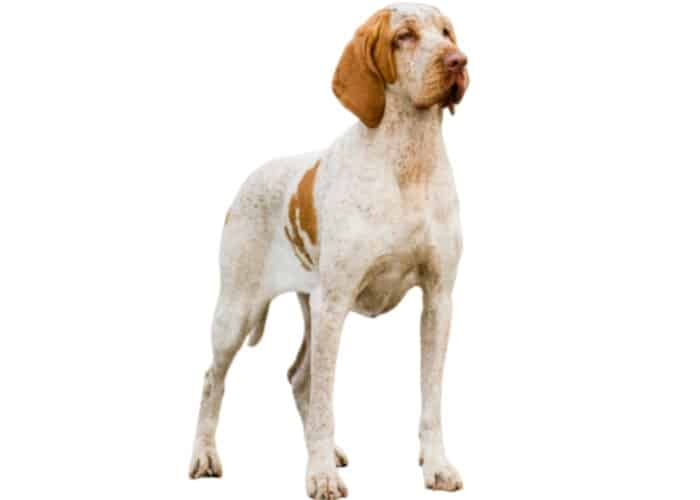 Bracco Italiano photographed against a white background