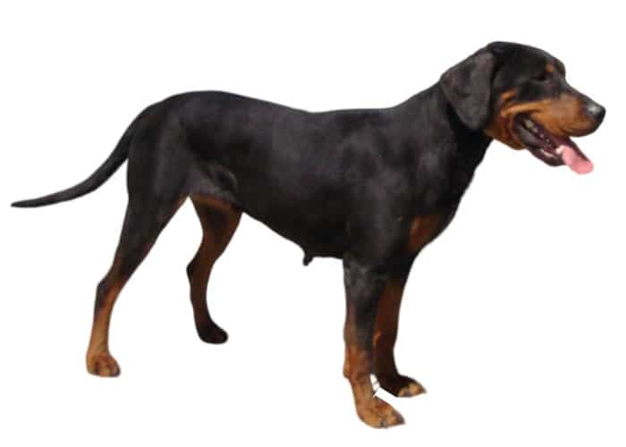 Bulgarian Scenthound standing on white background