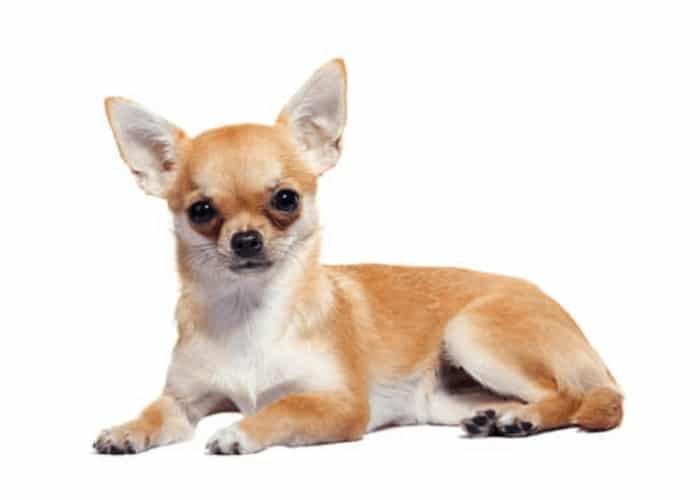 Chihuahua sitting on white background