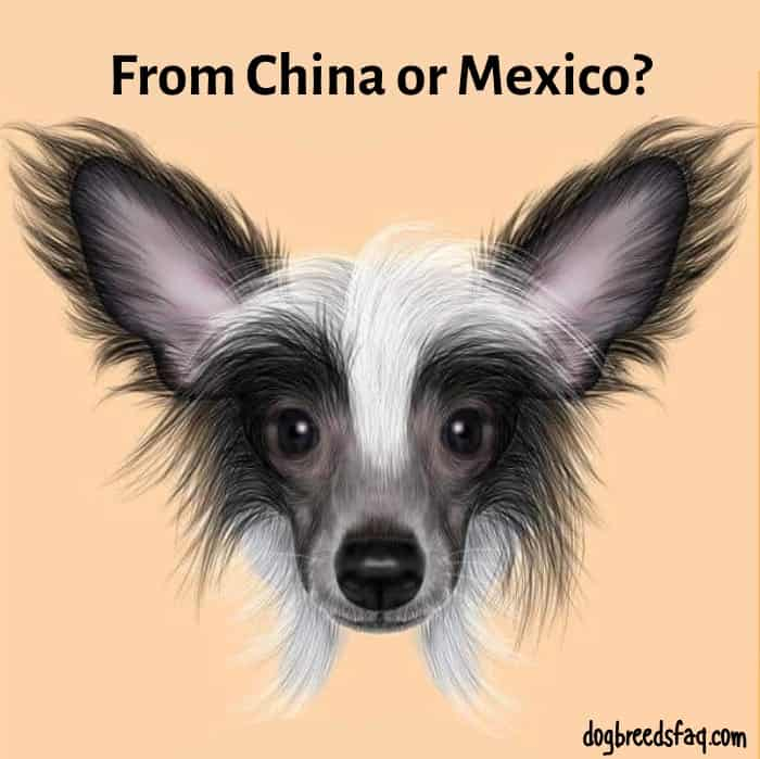 Chinese Crested dog with from china or mexico sign