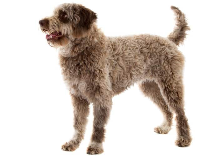 LAGOTTO ROMAGNOLO standing in front of white background