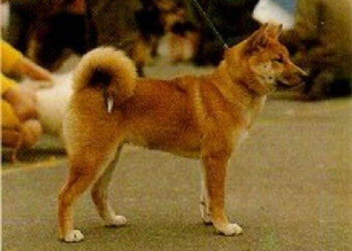 Sanshu Inu dog breed in the park