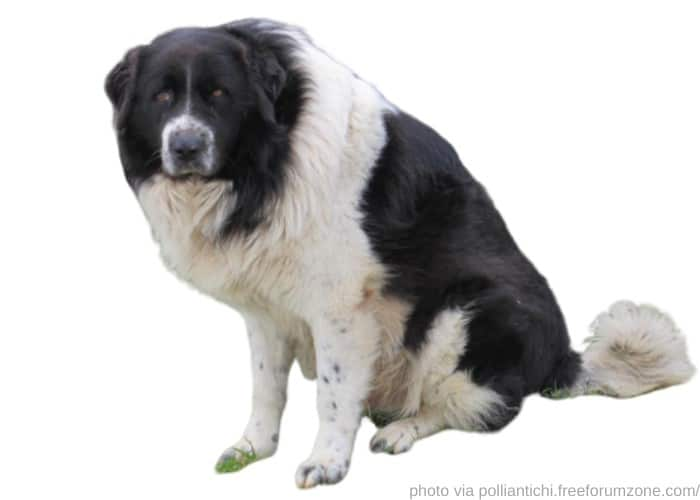 Sicilian Shepherd dog photographed against a white background