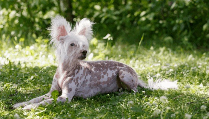 chinese crested dog lying on the grass