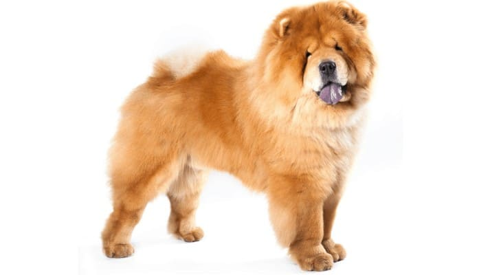 chow chow on a white background
