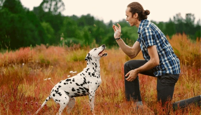 dalmatian training with owner
