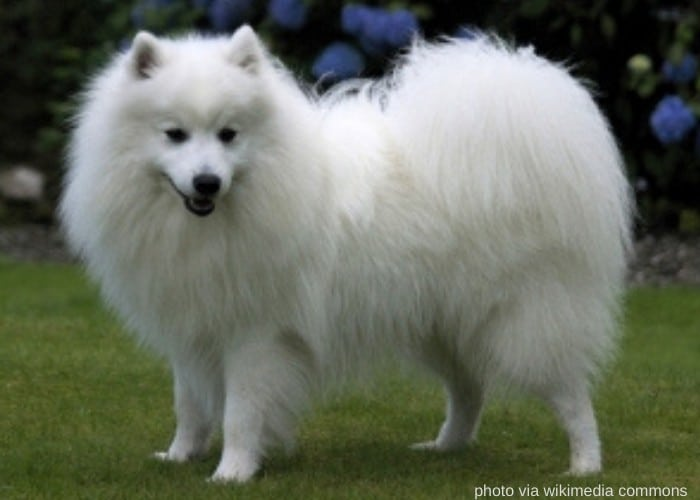 japanese spitz on the lawn