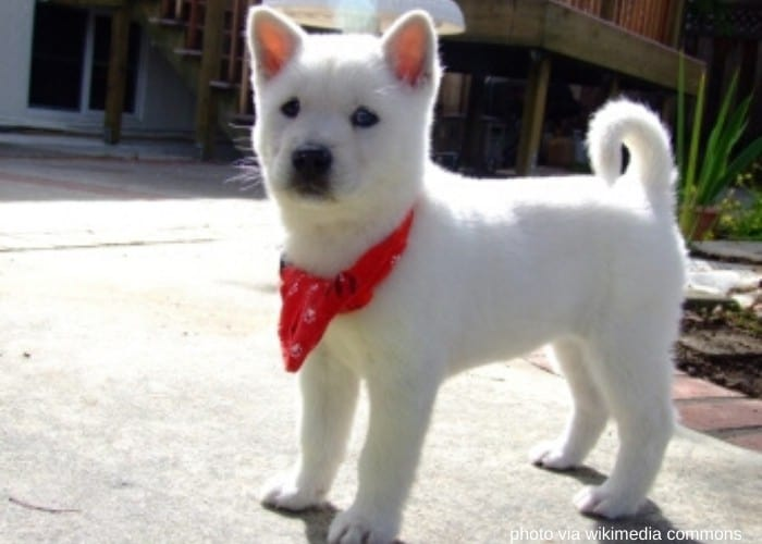 kishu dog puppy with red scarf