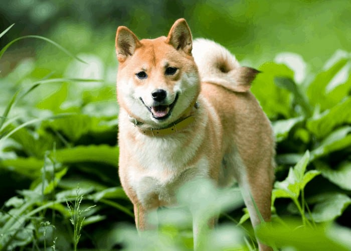 shiba inu standing in the middle of a garden