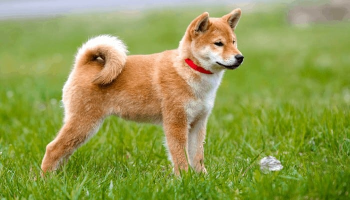 shiba inu standing on the lawn looking to its left side