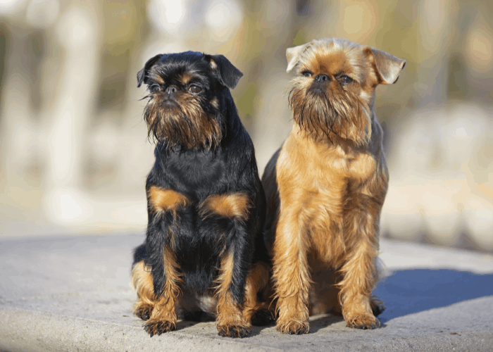 2 Brussels Griffon on the ground