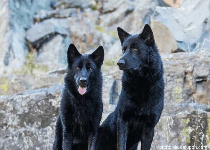 2 mexican wolfdogs outdoor
