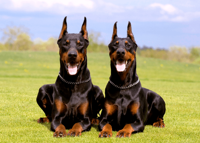 2 Doberman Pinscher dogs in the park