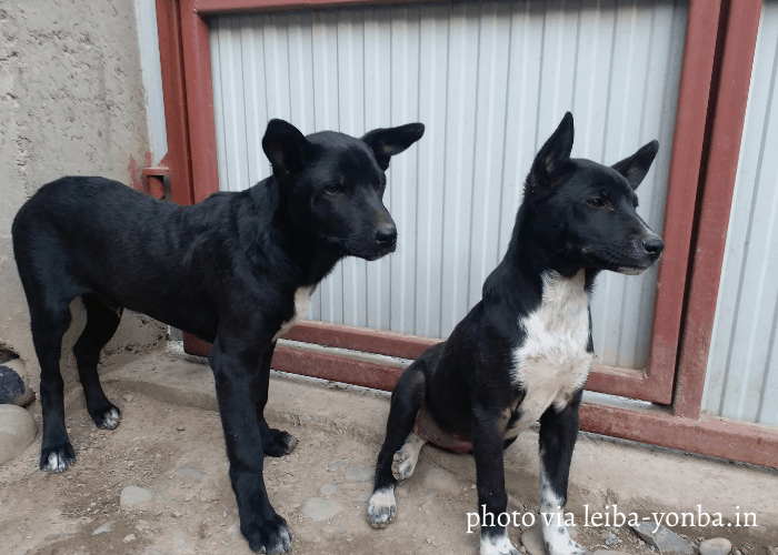 2 Tangkhul Hui dogs