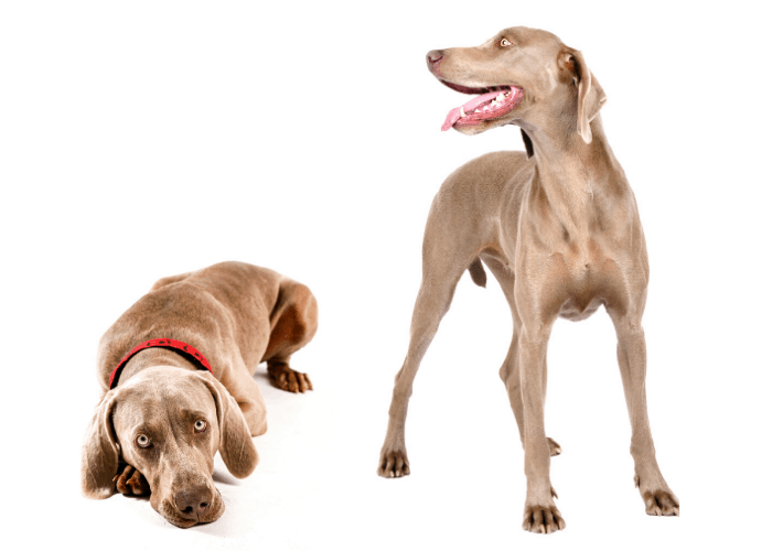 2 Weimaraner dogs on a white background