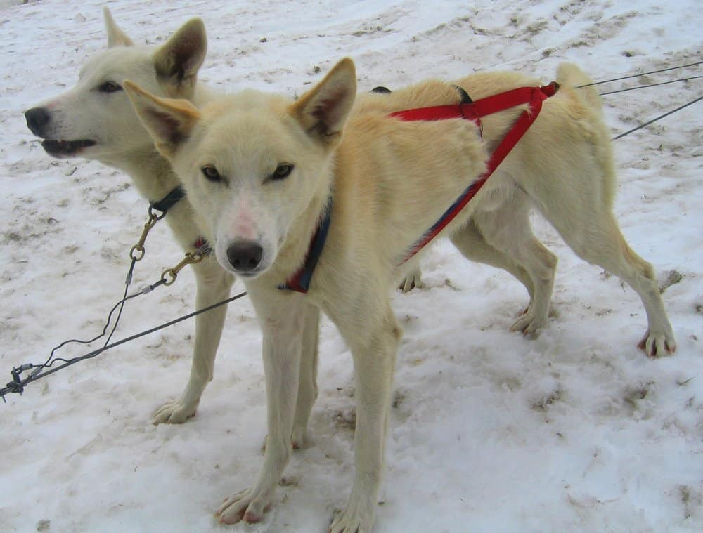 2 alaskan huskies ready for sledding