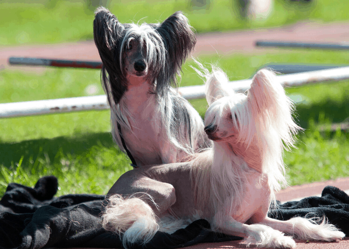 2 chinese crested dogs relaxing on the race track
