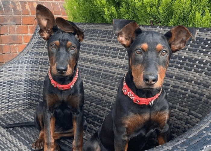 2 chinese red dog puppies