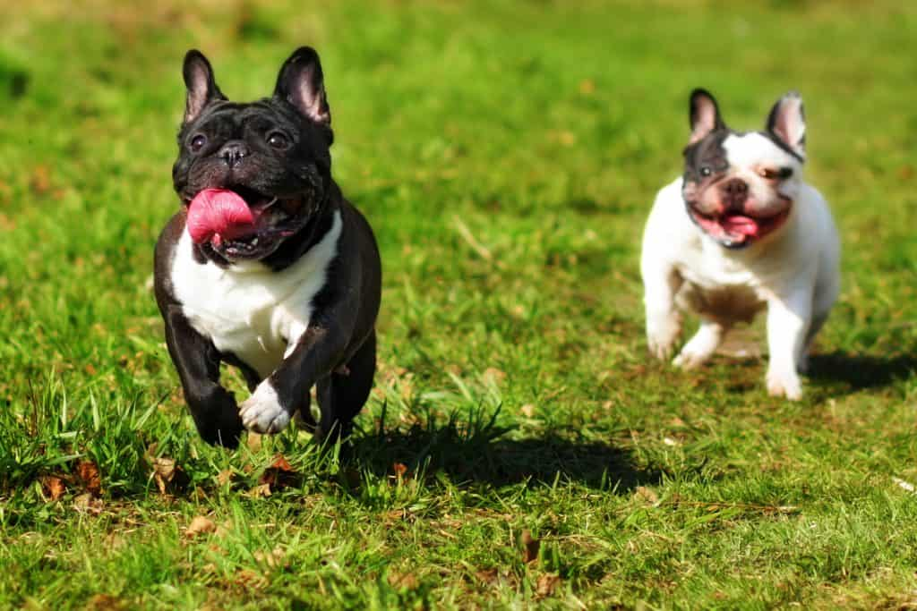 2 french bulldogs running on the lawn