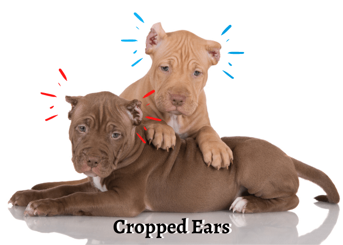 2 pit bull puppies with cropped cropped Ears