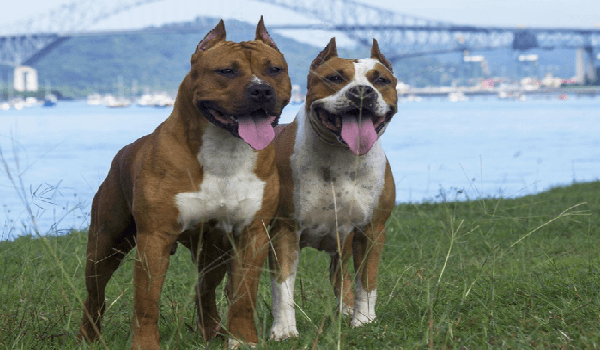 male and female pit bulls on green grass