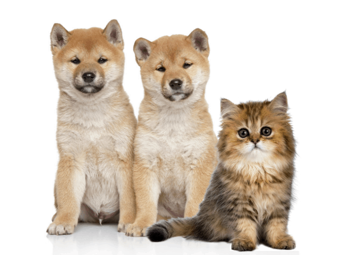 2 shiba inu dogs and persian cat on white background