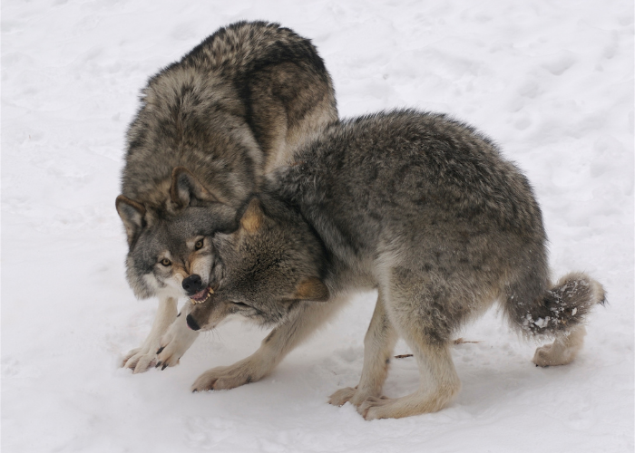 2 wolves fighting