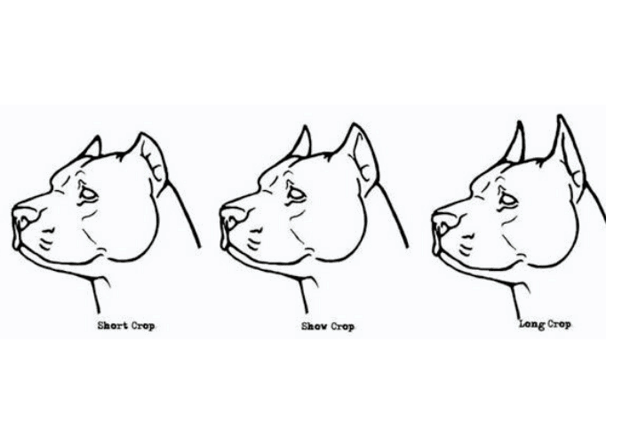 3 Great Dane Cropping styles