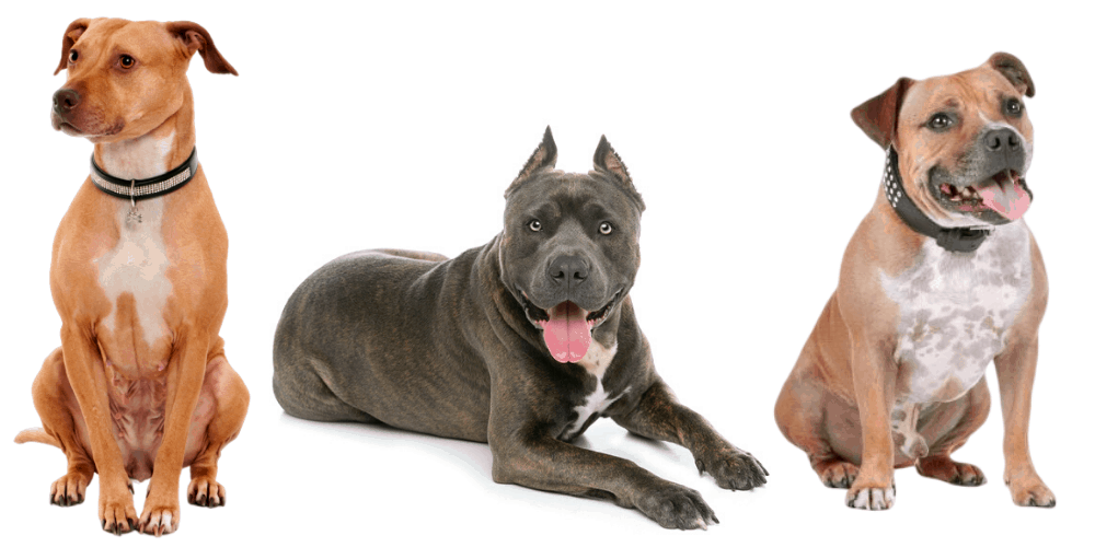 3 Pit bull breeds on white background