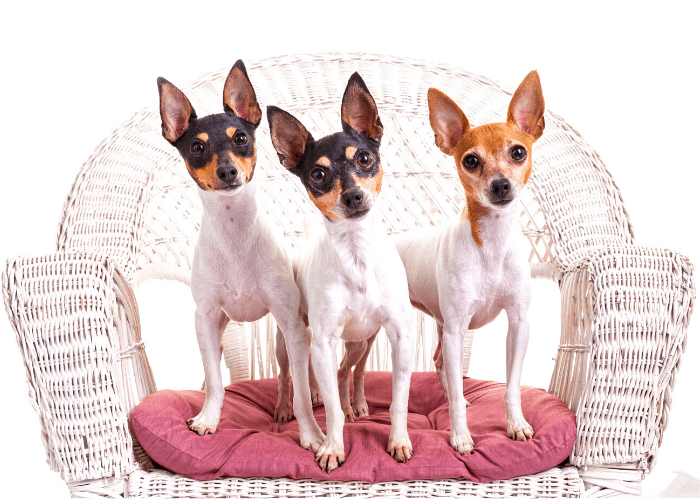 3 Toy Fox Terrier dogs standing on a wooden chair