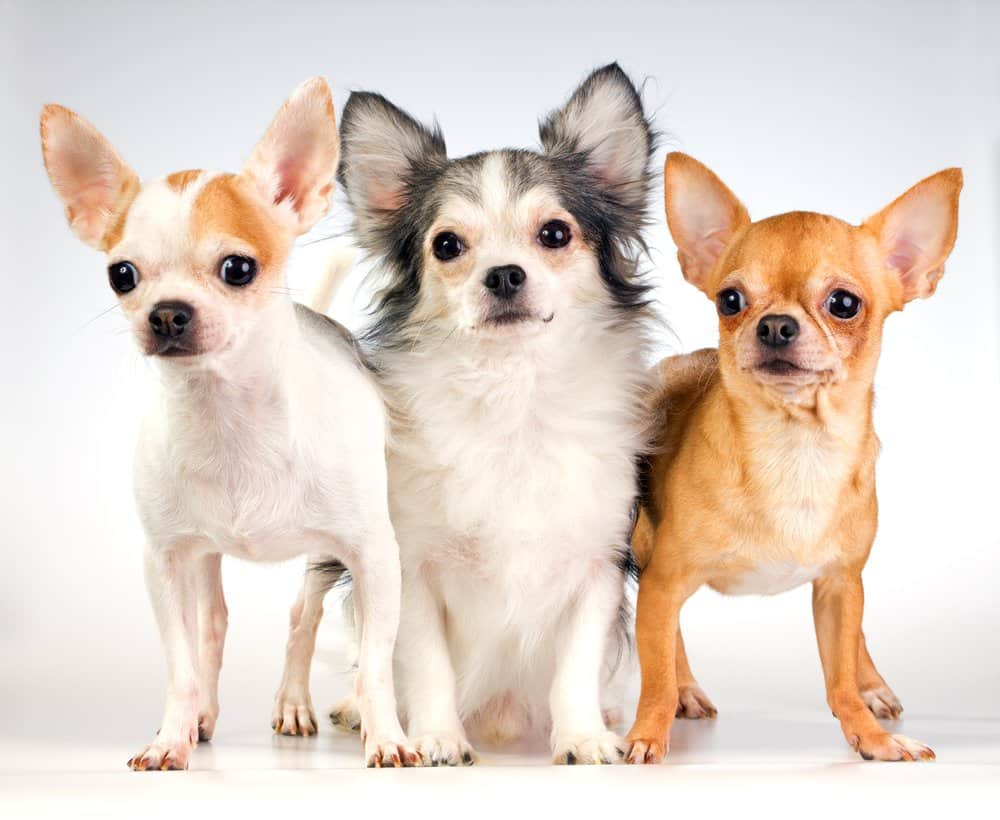 3 chihuahuas on white background