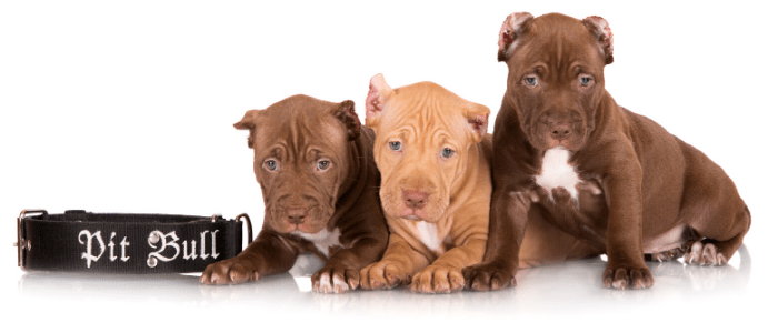 3 pit bull puppies and collar with pit bull sign on white background