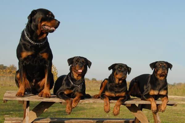 4 rottweilers resting on a wooden chair