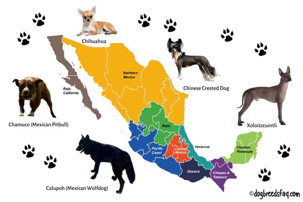 5 mexican dog breeds illustration