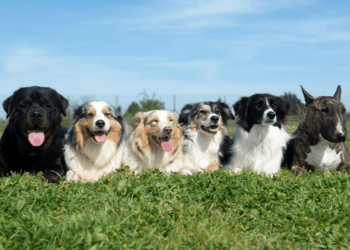 6 dog breeds on the lawn