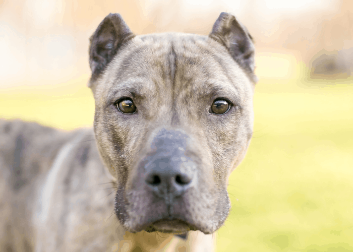 A brindle Presa Canario mixed breed dog with cropped ears looking at the camera