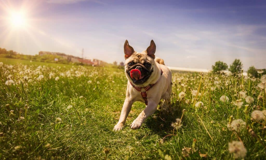 A pug running in the park during summer.