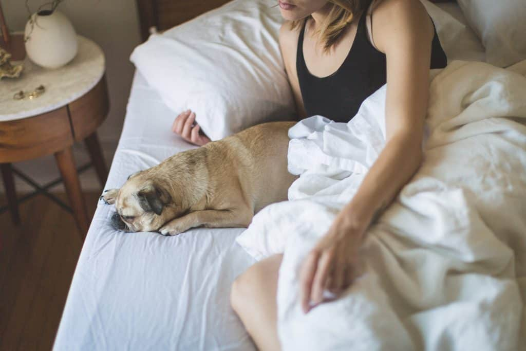 A pug with owner in bed