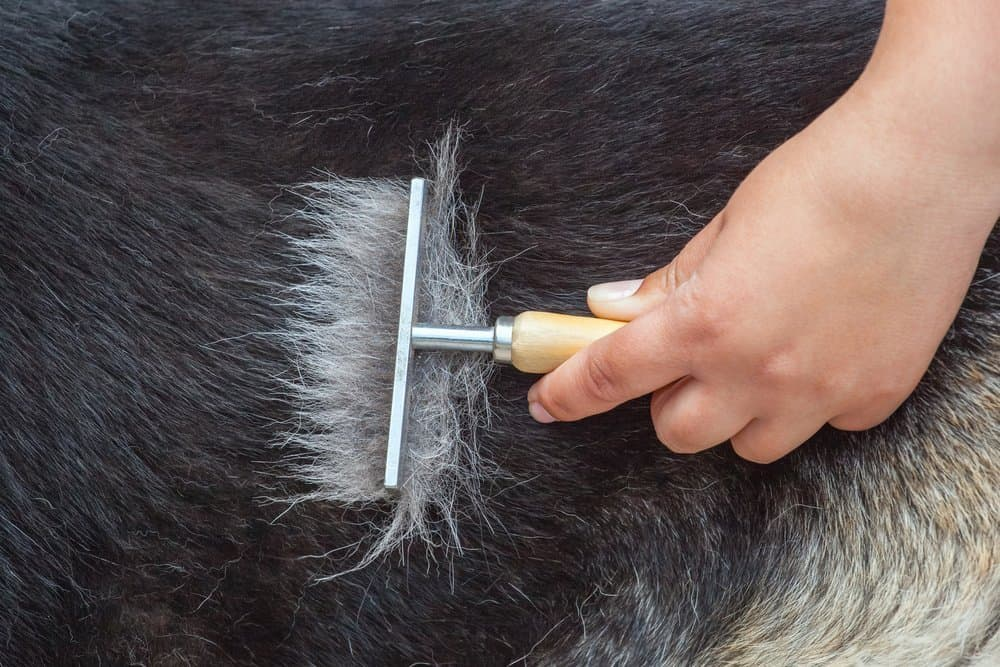 A veterinarian combs a German shepherd dog with a metal comb