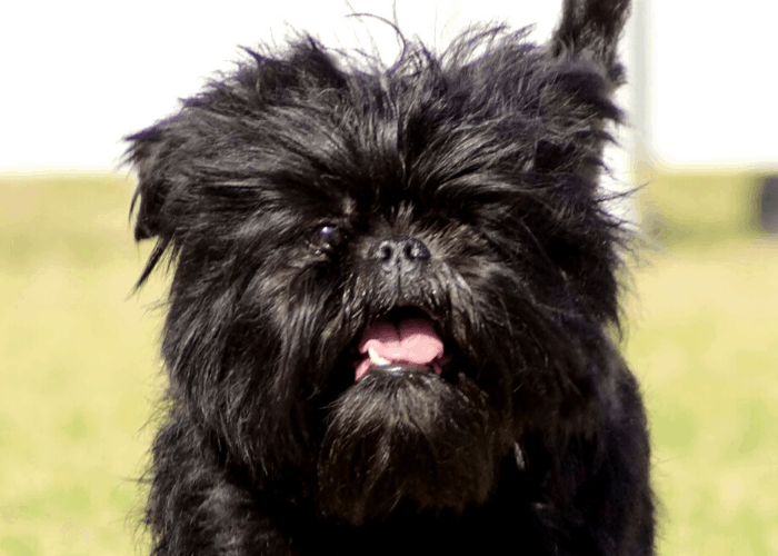 Affenpinscher close up