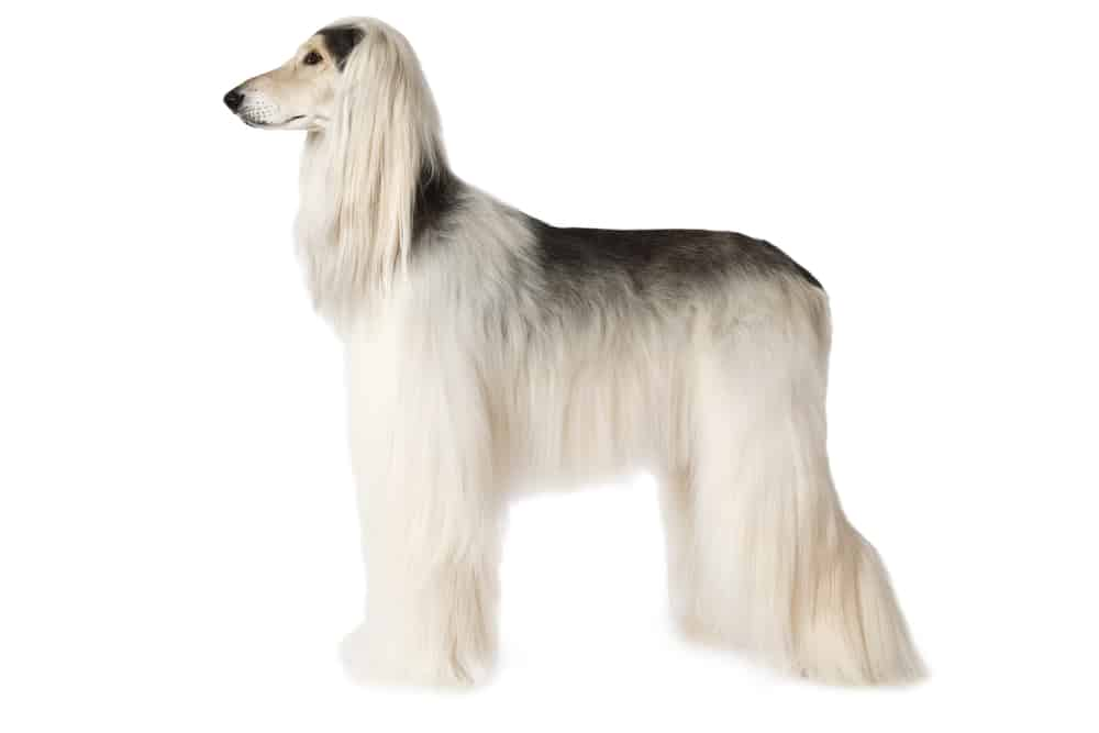 Afghan Hound on white background