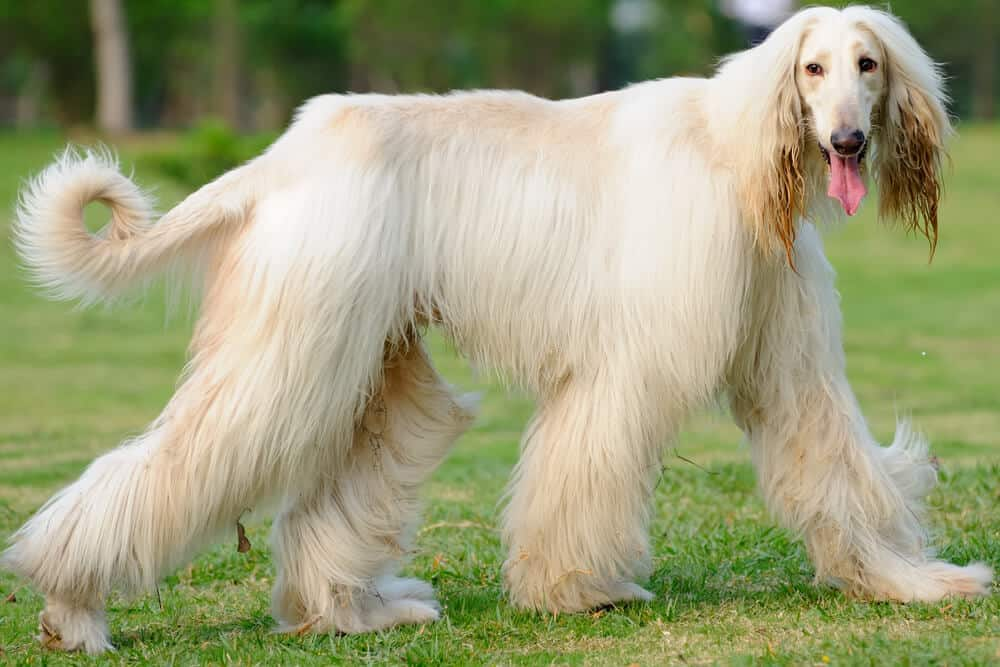 Afghan Hound walking on the lawn