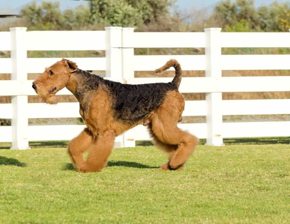 Airdale Terrier dog breed walking on the lawn