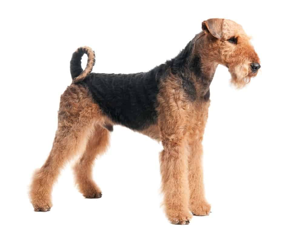 Airedale Terrier on white background