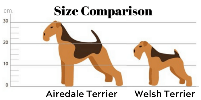 Airedale Terrier vs. Miniature airedale terrier size comparison