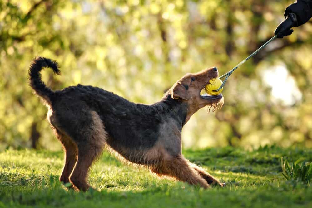 Airedale playing fetch at the park