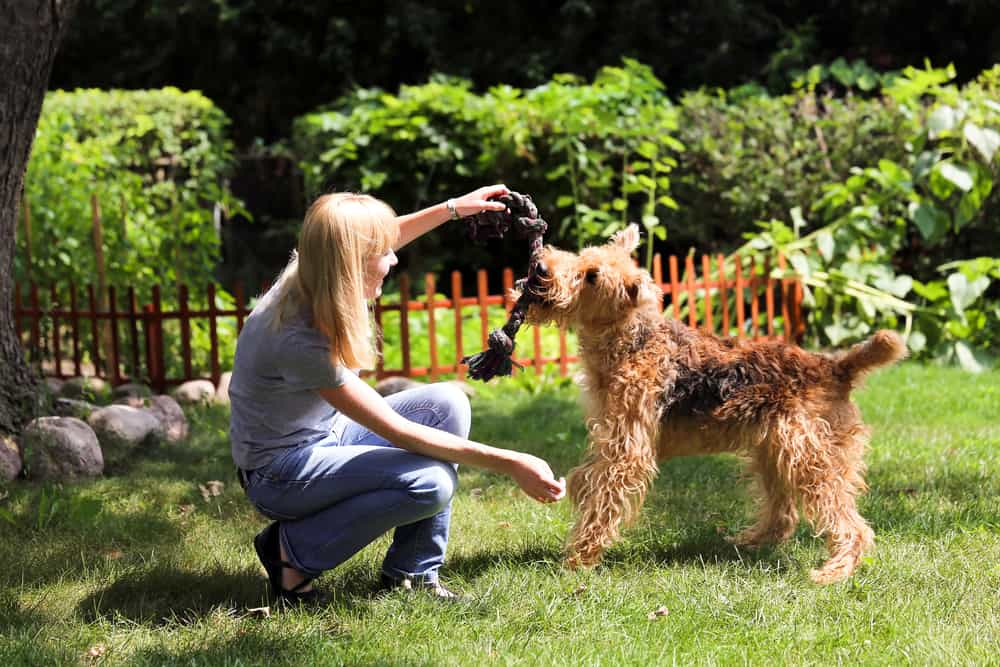 airdale terrier breed playing with a woman in the garden