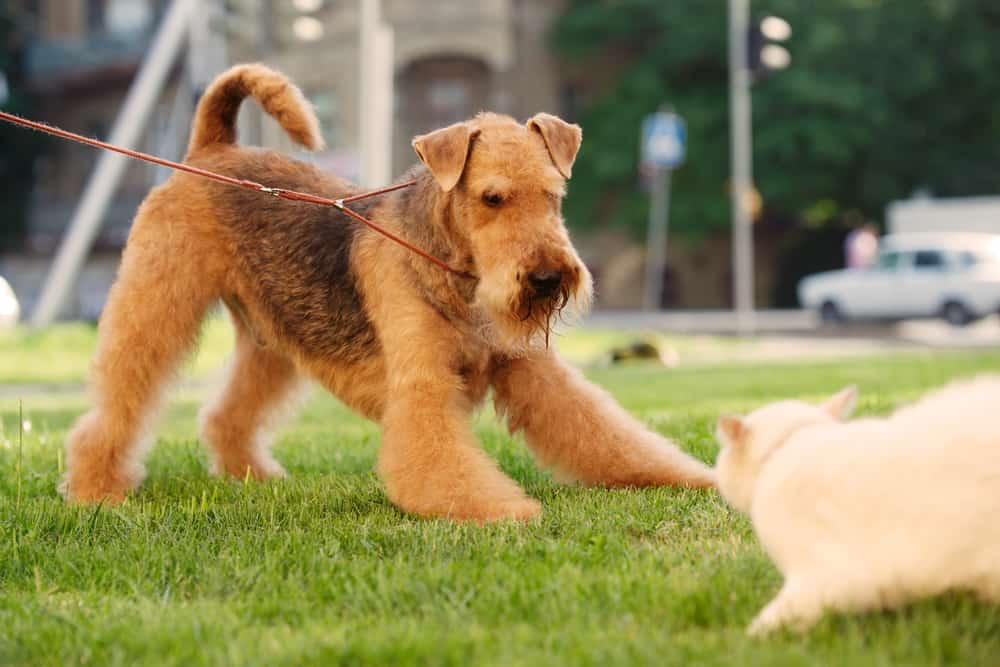 airedale terrier playing with a cat on the lawn