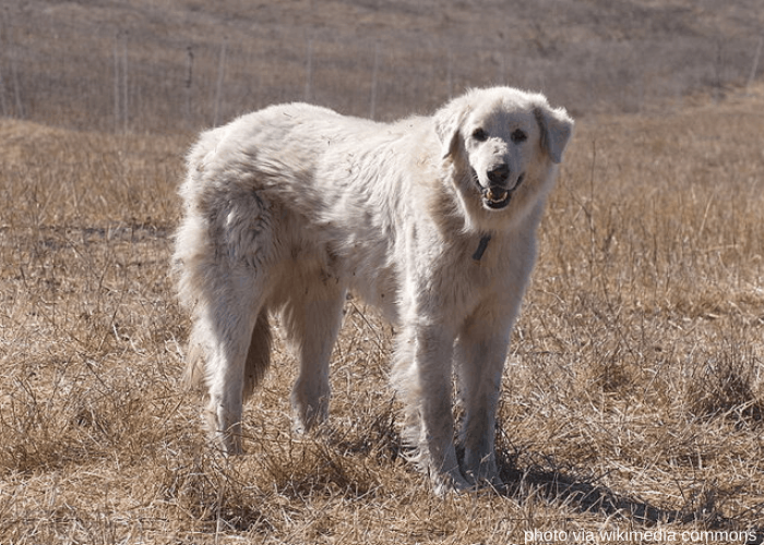 Akbash dog standing on a dried field in California