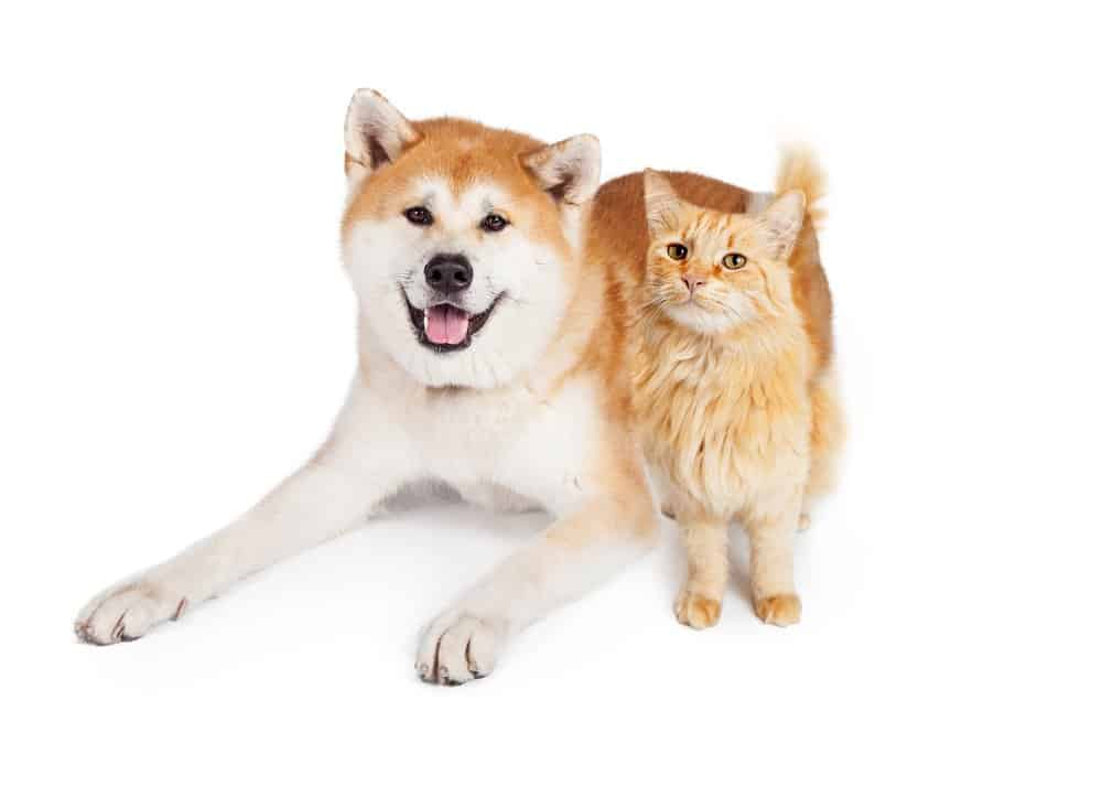 Are Akitas good with cats image
